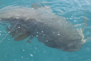 Its Dot! the friendly 300kg cod who lives in the bay.